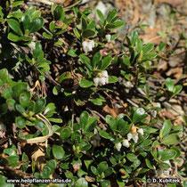 Blühende Echte Bärentraube (Arctostaphylos uva-ursi),