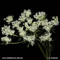 Chinesische Angelika (Angelica sinensis), Blütenstand