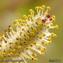 Purpur-Weide (Salix purpurea), männliches Blütenkätzchen. Die meisten Staubbeutel sind zum Stäuben geöffnet (gelb).