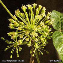 Taigawurzel (Eleutherococcus senticosus), Blütenstand