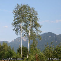 Birke (Gewoehnliche Birke, Betula pendula, Moor-Birke, Betula pubescens)
