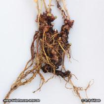 Rosenwurz (Rhodiola rosea), Rhizom und Wurzeln