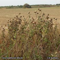 Mariendistel (Silybum marianum) Samenstände nach der Blüte, Standort am Feldrand (hier in Israel)