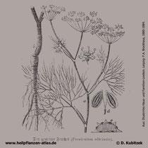 Fenchel, Foeniculum vulgare