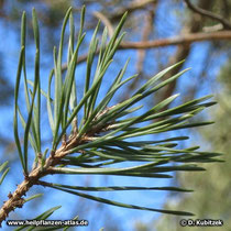 Gewöhnliche Kiefer (Pinus sylvestris): Die Nadeln sitzen jeweils paarweise.