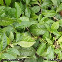 Tee-Strauch (Camellia sinensis), Zweige