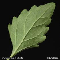 Orthosiphon (Orthosiphon aristatus; Synonym: Orthosiphon stamineus), Unterseite Blatt