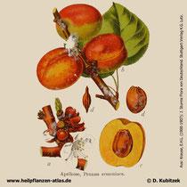 Aprikose, Prunus armeniaca