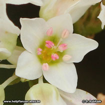 Buchweizen Blüte