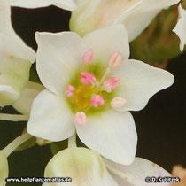 Echter Buchweizen (Fagopyrum esculentum), Blüte