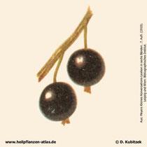 Schwarze Johannisbeere Früchte; Ribes nigrum; Historisches Bild