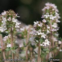 Spanischer Thymian (Thymus zygis), Blütenstände