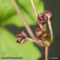 Die Blüten des Wassernabels sind unscheinbar