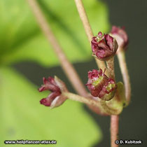 """Asiatischer Wassernabel (""""Gotu Kola"""", Centella asiatica): Die Blüten sind unscheinbar."""