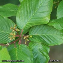 Amerikanischer Faulbaum (Rhamnus purshiana)
