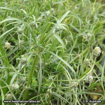 Flohsamen-Wegerich (Plantago afra, Synonym: Plantago psyllium), Wuchsform