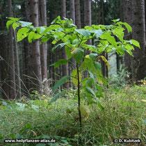 Tollkirsche (Atropa belladonna), Wuchsform
