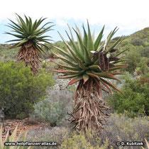 Kap-Aloe (Aloe ferox), Standort
