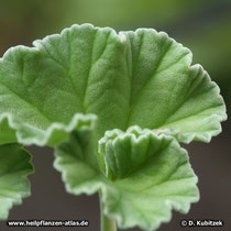 Blatt der Pelargonium sidoides