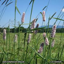 Schlangenwiesen-Knöterich (Persicaria bistorta), Standort