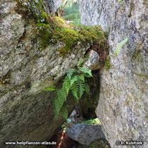 Tüpfelfarn (Polypodium vulgare) wächst hier im Hochgebirge (Schweiz) auf der schattigen Seite eines Felsens im lichten Wald.