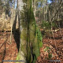 Der Gewöhnliche Tüpfelfarn kann auch an einem Baum wachsen, wie hier in einem Waldhang über der Isar (Oberbayern).