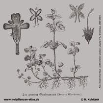 Gundermann (Gundelrebe, Glechoma hederacea), Historisches Bild