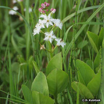 Fieberklee (Menyanthes trifoliata), Wuchsform