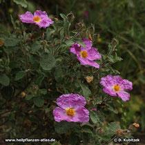 Kretische Zistrose (Cistus creticus), Blüten