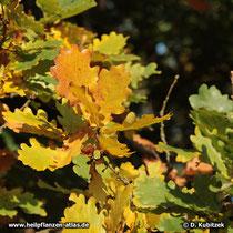 Blattfärbung der Stiel-Eiche (Quercus robur) im Herbst.