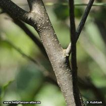 Echter Faulbaum (Frangula alnus; synonym: Rhamnus frangula), Borke (Ast)
