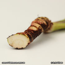 Kalmuswurzel Querschnitt (Acorus calamus),