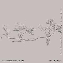 Wald-Erdbeere (Fragaria vesca), historische Grafik