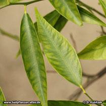 Mandarine (Citrus reticula)