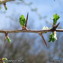 Die Dornen des Eingriffeligen Weißdorns (Crataegus monogyna) sind am besten sichtbar vor dem Blattaustrieb.
