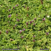 Gewöhnliche Braunelle (Prunella vulgaris), in einer Wiese