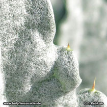 Artischocke (Cynara cardunculus), junges Blatt Detail