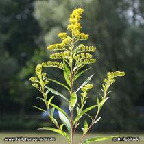 Riesen-Goldrute Blütenstand