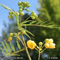 Sennes (Senna angustifolia)