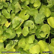 """Asiatischer Wassernabel (""""Gotu Kola"""", Centella asiatica), Wassernabelkraut Blätter"""