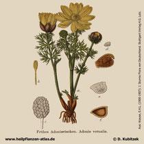 Frühlings-Adonisröschen, Adonis vernalis, Historisches Bild