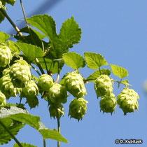 Gewöhnlicher Hopfen (Humulus lupulus), weibliche Blüten