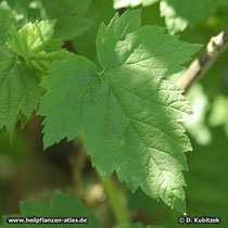 Schwarze Johannisbeere (Ribes nigrum), Blatt