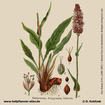 Schlangenwiesen-Knöterich (Bistorta officinalis, Polygonum bistorta): Historische Grafik