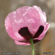 Schlafmohn (Papaver somniferum), Unterseite der Blüte