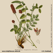 Großer Wiesenknop, Sanguisorba officinalis, Historisches Bild