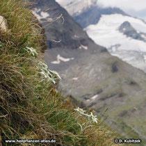 Diese Alpen-Edelweiß wachsen auf einem felsigen Grashang im Oberengadin (Schweiz) auf etwa  2.600 m Höhe.