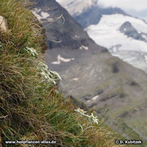 Diese Edelweiß (Alpen-Edelweiß, Leontopodium nivale subsp. alpinum) wachsen auf einem felsigen Grashang im Oberengadin (Schweiz) auf etwa  2.600 m Höhe.