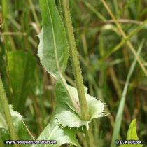 Gewöhnliche Wegwarte (Cichorium intybus), Blatt
