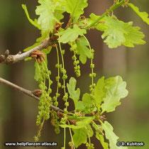 Die männliche Blüten der Stiel-Eiche hängen in Kätzchen. Männliche und weibliche Blüten sind auf derselben Pflanze getrennt (einhäusig = monözisch).